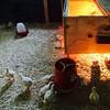baby chickens #overlookfarm #pennsylvania #vignettes