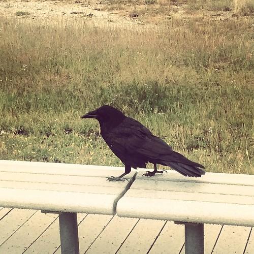 Old faithful raven #latergram