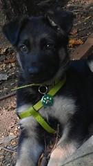 german shepherd dog(0.0), karelian bear dog(0.0), dog breed(1.0), animal(1.0), lapponian herder(1.0), dog(1.0), pet(1.0), street dog(1.0), mammal(1.0), norwegian elkhound(1.0),