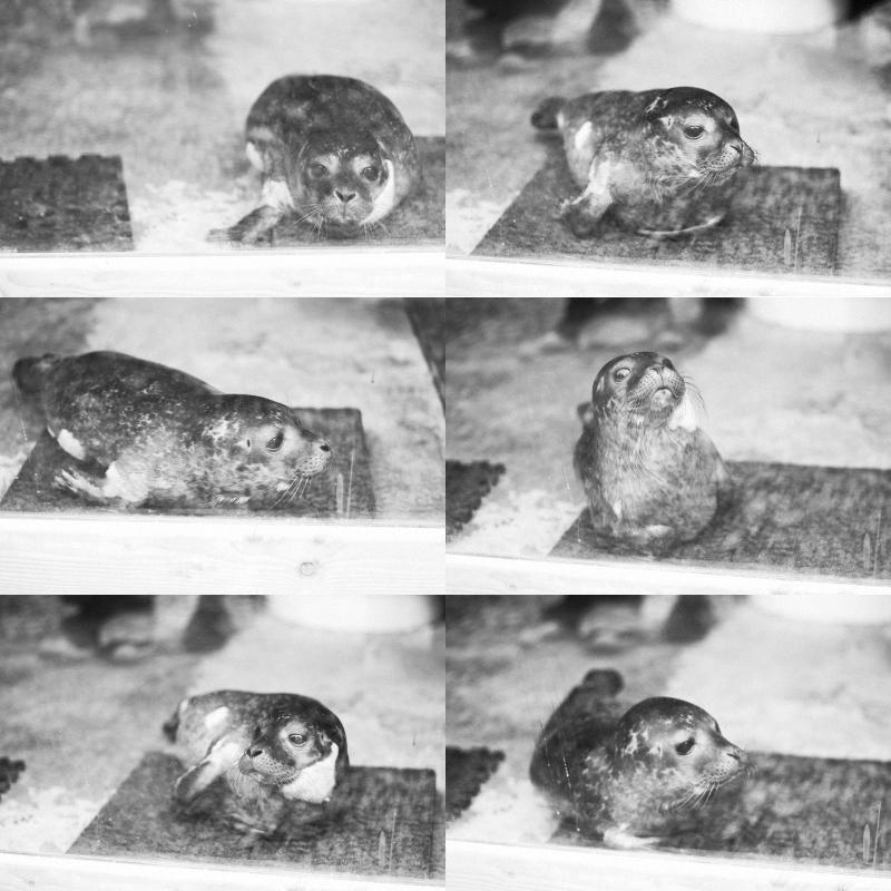 collage seal pups BW