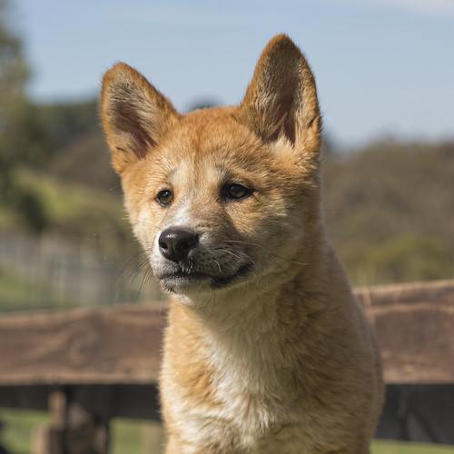 Dingo puppy 2014-08-31 (IMG_7272)