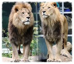 Die Löwen sind los