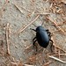 Small photo of Sophisticated Beetle