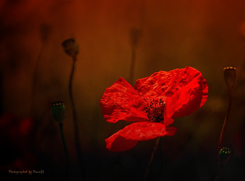 Mohn - Light