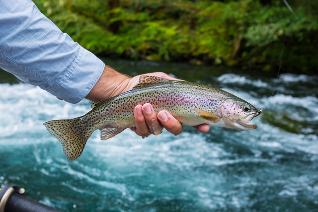 mckenzie-river-guided-fly-fishing-caddis-fly-shop