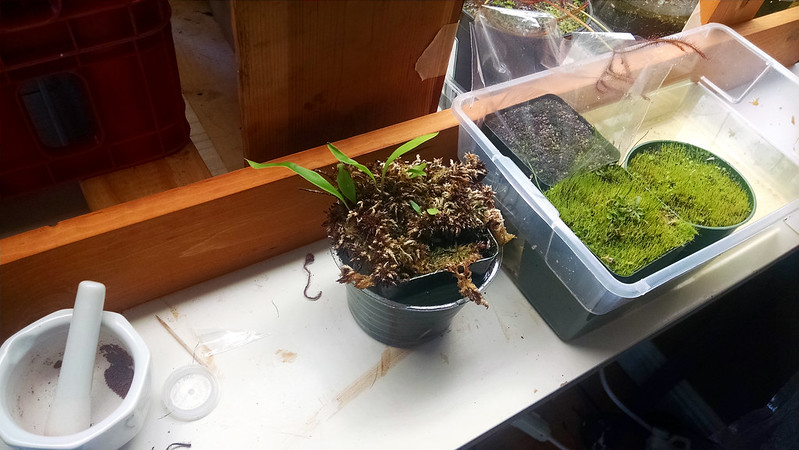Utricularia longifolia in separate tray.