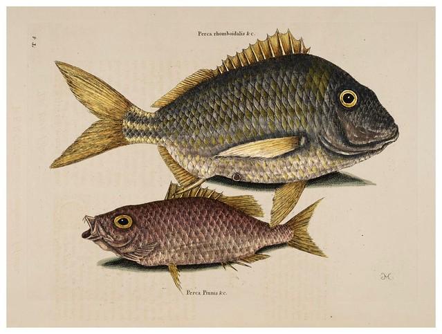 011-Pez cerdo-Perca marina-Natural History of Carolina, Florida and the Bahama Islands-Vol2-1754