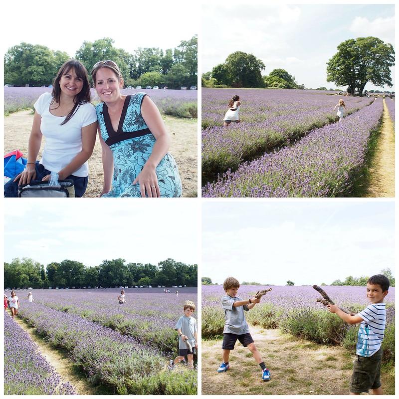 lavender, Mayfield, Surrey, England, UK