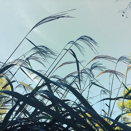 #reeds #grass #lynnfriedman