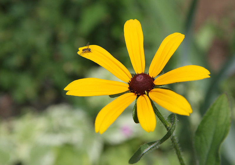 black-eyed susan with friend2