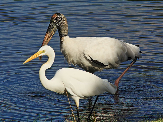 Great Egret and Wood Stork 20140912