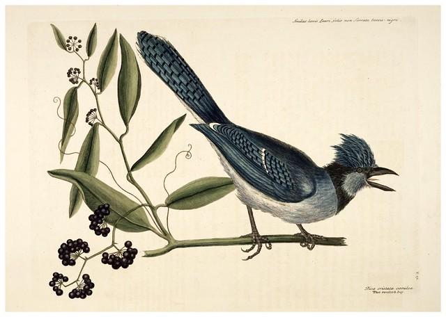 003-Geai azul-Natural History of Carolina, Florida and the Bahama Islands-Vol1-1754