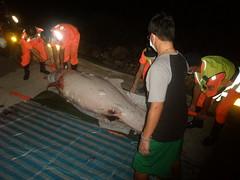 TW-01 白海豚擱淺死亡。照片提供:媽祖魚保育聯盟。
