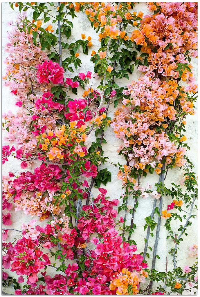 Flowers in Mirtos