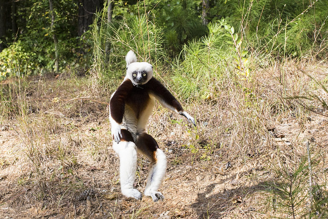 when a lemur sees a clown in the woods