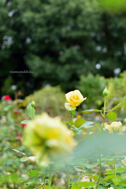 バラ園 The rose garden
