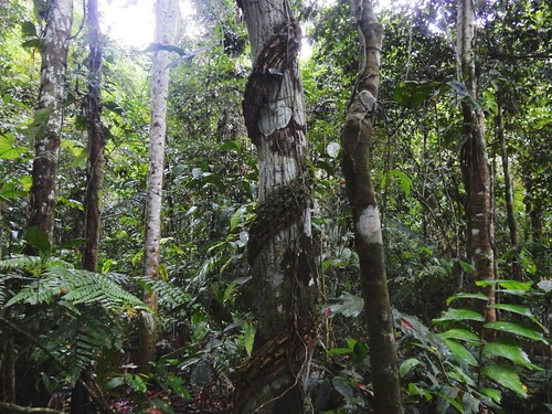 Thick jungle in Madidi National Park - Amazon forest - Bolivia