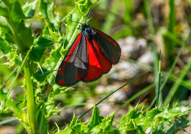 Holme reserve Cinnabar Moth