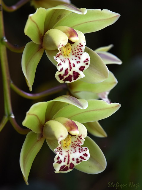 cymbidium orchids in Explore, Nikon D750, AF-S VR Micro-Nikkor 105mm f/2.8G IF-ED