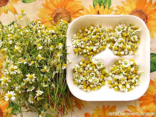 Camomilla: immagini della raccolta dei fiori dalla pianta selvatica