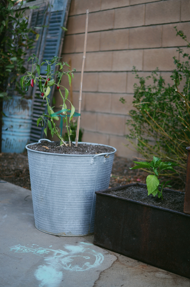pepper in zinc pots
