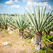 Small photo of Agave plants, Mexico
