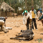 Homeopathic Cow Care at Market - Lalibela, Ethiopia