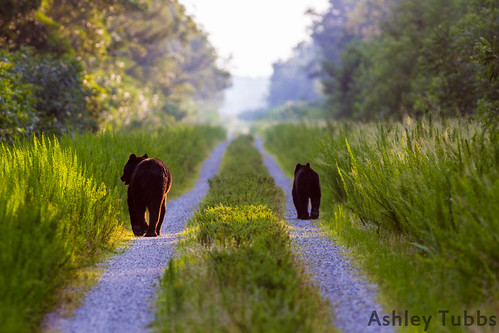 Black Bear, Ursus americanus. East NC