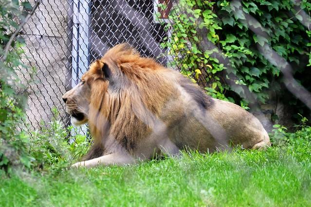 Makini the Lion