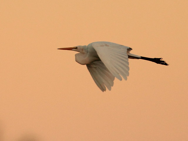 Great Egret on Saharan dust 20140806