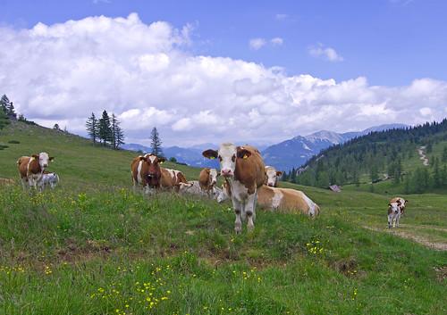 austria cow july 2014 hochschwab brandhof