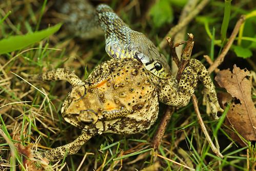 nature snake taiwan toad buffstripedkeelback dagangshan