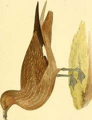 """Image from page 288 of """"Coloured illustrations of British birds, and their eggs"""" (1842)"""