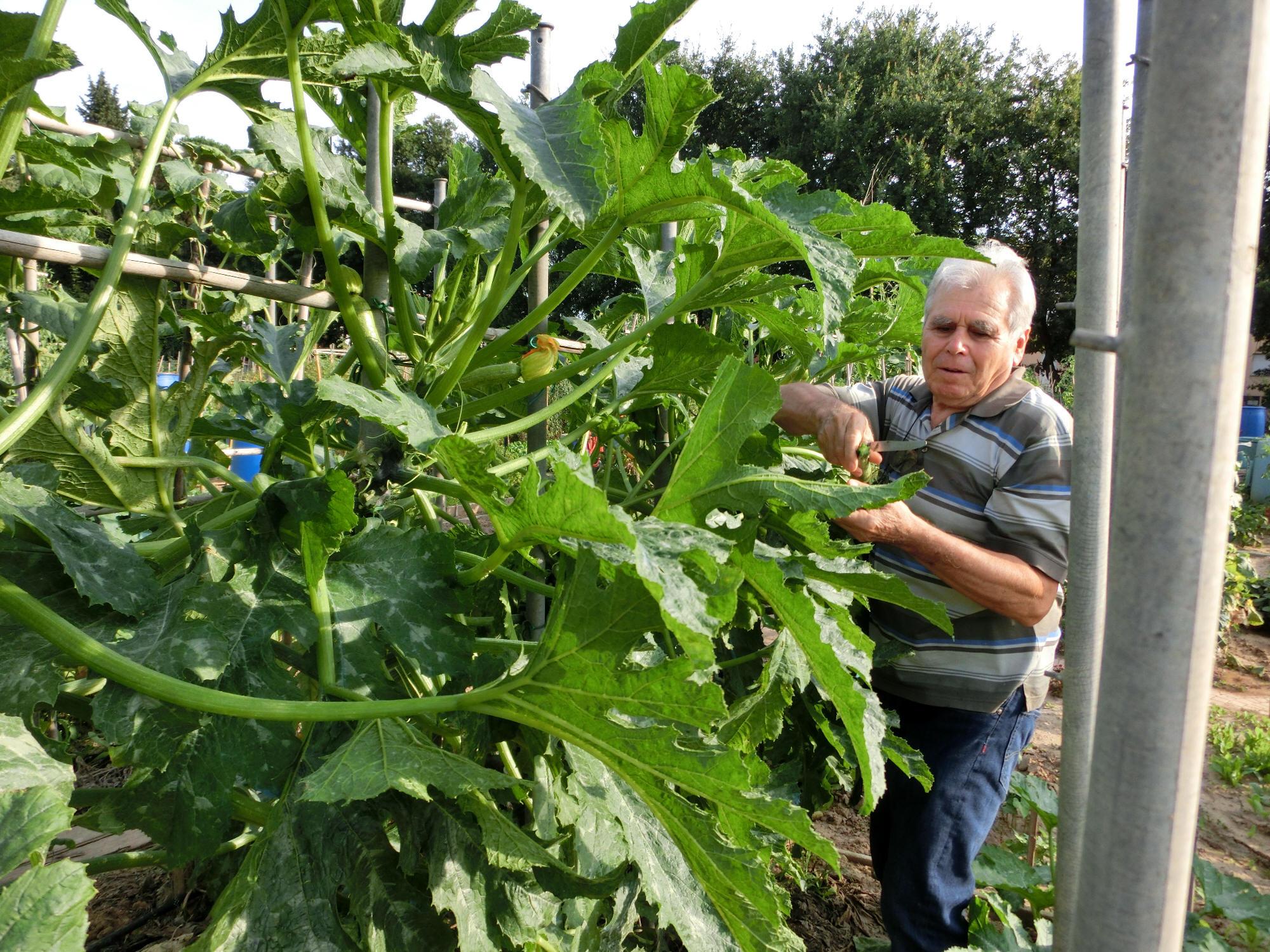Una curiosa coltivazione l albero delle zucchine for Piante ad alberello