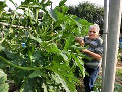 Un particolare delle piante di zucchina