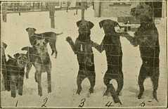 "Image from page 81 of ""The Airedale terrier standard simplified"" (1921)"