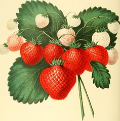 """Image from page 70 of """"The fruits of America : containing richly colored figures, and full description of all the choicest varieties cultivated in the United States"""" (1848)"""