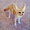 #scoutthefennecfox