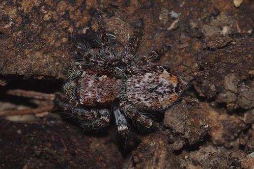 spider arachnid eucalyptus hastings jumpingspider salticidae wauchope byabarra booyong servaea euophryinae