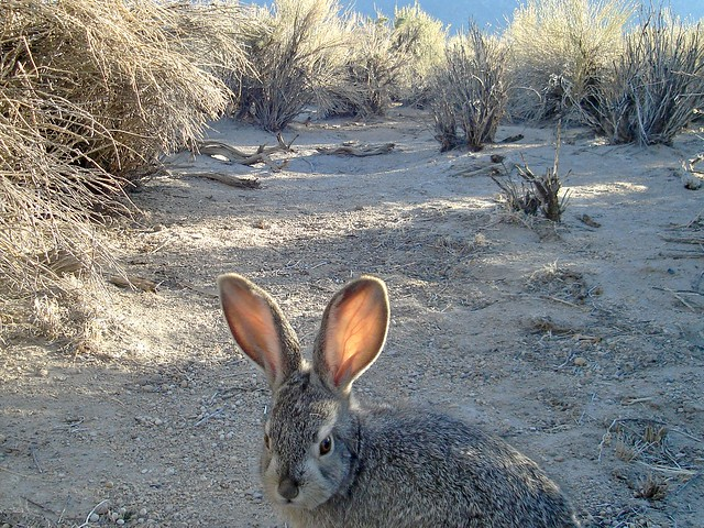 juvenile black-tailed jackrabbit