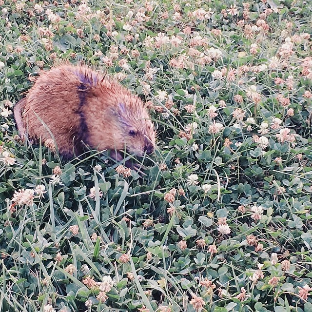The wildlife. #muskrat #wetrat #wisconsin #lakemendota #wildlife #waterrat