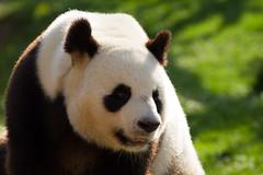 Panda ZooParc