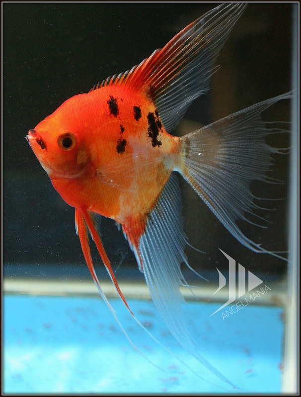 Archived auction fwangelfish1428282825 for Freshwater angel fish