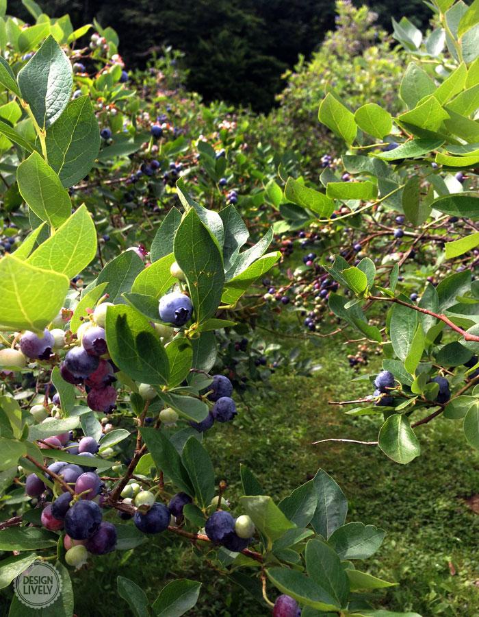BlueberryPie3