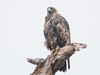 P2350718.jpg Golden Eagle (Aquila chrysaetos)