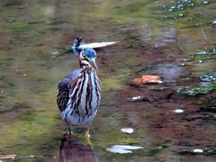 frontal heron