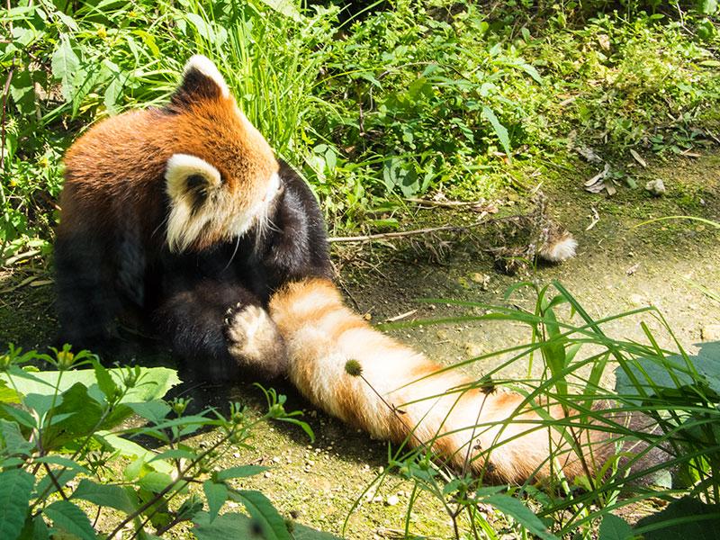 レッサーパンダの毛繕い(ギン)