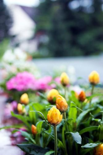 Goldengelchen Spätsommerblumen02