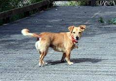 labrador retriever(0.0), puppy(0.0), street dog(0.0), nova scotia duck tolling retriever(0.0), golden retriever(0.0), dog breed(1.0), animal(1.0), dog(1.0), pet(1.0), mammal(1.0), retriever(1.0),