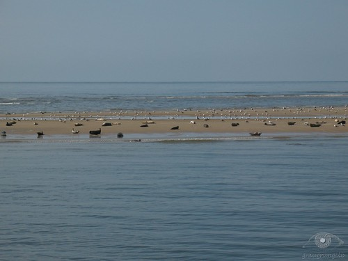 Seehunde auf Sandbank